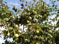 Яблоки монастырского сада